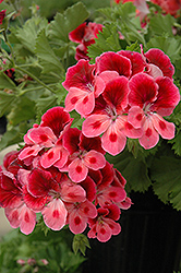 Candy Flowers Pink Eye Geranium (Pelargonium 'Candy Flowers Pink Eye') at Hicks Nurseries