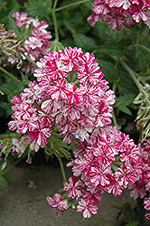 Tropical Breeze Red and White Verbena (Verbena 'Tropical Breeze Red and White') at Hicks Nurseries