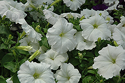 Easy Wave White Petunia (Petunia 'Easy Wave White') at Hicks Nurseries
