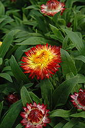 Dreamtime Jumbo Red Ember Strawflower (Bracteantha bracteata 'Dreamtime Jumbo Red Ember') at Hicks Nurseries