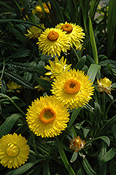 Dreamtime Jumbo Yellow Strawflower (Bracteantha bracteata 'Dreamtime Jumbo Yellow') at Hicks Nurseries