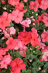 Super Elfin® XP Melon Impatiens (Impatiens walleriana 'Super Elfin XP Melon') at Hicks Nurseries