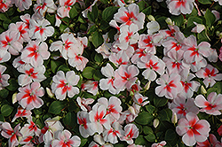 Super Elfin® XP Cherry Splash Impatiens (Impatiens walleriana 'Super Elfin XP Cherry Splash') at Hicks Nurseries