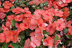 Super Elfin® Apricot Impatiens (Impatiens walleriana 'Super Elfin Apricot') at Hicks Nurseries
