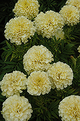 French Vanilla Marigold (Tagetes erecta 'French Vanilla') at Hicks Nurseries