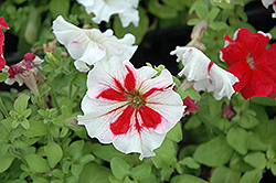 Hula Hoop Red Petunia (Petunia 'Hula Hoop Red') at Hicks Nurseries