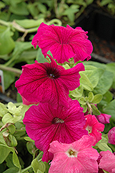Ultra Plum Petunia (Petunia 'Ultra Plum') at Hicks Nurseries