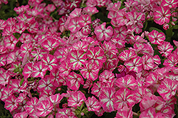 Grammy Pink and White Annual Phlox (Phlox 'Grammy Pink and White') at Hicks Nurseries
