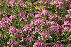 Enchanting Pink Nemesia (Nemesia 'Enchanting Pink') at Hicks Nurseries