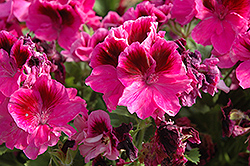 Jolenta Dark Lilac Geranium (Pelargonium 'Jolenta Dark Lilac') at Hicks Nurseries