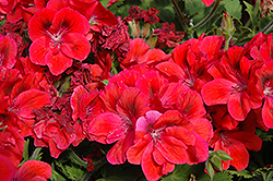 Shirley Red Geranium (Pelargonium 'Shirley Red') at Hicks Nurseries