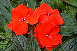 Magnum Fire New Guinea Impatiens (Impatiens 'Magnum Fire') at Hicks Nurseries