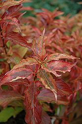 My Monet® Sunset Weigela (Weigela florida 'Sunset') at Hicks Nurseries