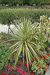 Torbay Dazzler Grass Palm (Cordyline australis 'Torbay Dazzler') at Hicks Nurseries
