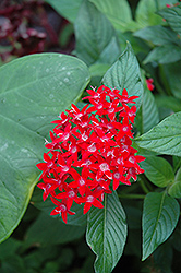 Ruby Glow Star Flower (Pentas lanceolata 'Ruby Glow') at Hicks Nurseries