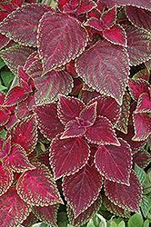 Volcano Coleus (Solenostemon scutellarioides 'Volcano') at Hicks Nurseries