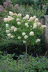 Limelight Hydrangea (tree form) (Hydrangea paniculata 'Limelight (tree form)') at Hicks Nurseries