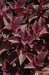 Vino Coleus (Solenostemon scutellarioides 'Vino') at Hicks Nurseries