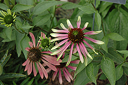 Green Envy Coneflower (Echinacea purpurea 'Green Envy') at Hicks Nurseries