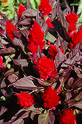 Smart Look Red Celosia (Celosia 'Smart Look Red') at Hicks Nurseries