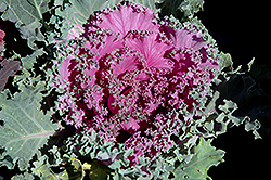 Pink Kale (Brassica oleracea 'Pink') at Hicks Nurseries