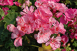 Designer Peppermint Twist Geranium (Pelargonium 'Designer Peppermint Twist') at Hicks Nurseries