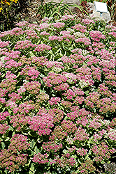 Brilliant Stonecrop (Sedum spectabile 'Brilliant') at Hicks Nurseries