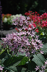 Butterfly™ Blue Star Flower (Pentas lanceolata 'Butterfly Blue') at Hicks Nurseries