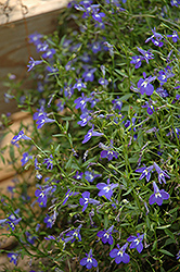 Magadi Blue Lobelia (Lobelia erinus 'Magadi Blue') at Hicks Nurseries