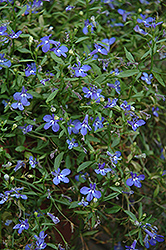 Cobalt Star Lobelia (Lobelia 'Cobalt Star') at Hicks Nurseries