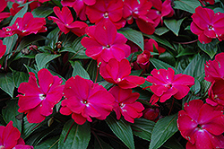 Celebrette Hot Rose New Guinea Impatiens (Impatiens 'Celebrette Hot Rose') at Hicks Nurseries