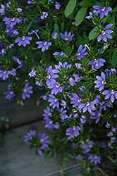 Whirlwind® Blue Fan Flower (Scaevola aemula 'Whirlwind Blue') at Hicks Nurseries