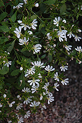 Bombay White Fan Flower (Scaevola aemula 'Bombay White') at Hicks Nurseries