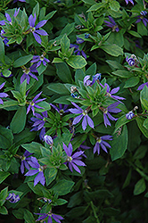 Outback Purple Fan Fan Flower (Scaevola aemula 'Outback Purple Fan') at Hicks Nurseries