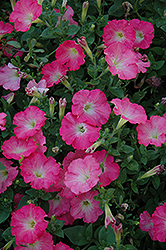 Easy Wave Rosy Dawn Petunia (Petunia 'Easy Wave Rosy Dawn') at Hicks Nurseries