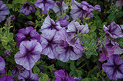 Paparazzi Paladium Purple Petunia (Petunia 'Paparazzi Paladium Purple') at Hicks Nurseries