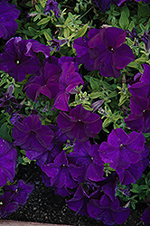 Paparazzi Midnight Blue Petunia (Petunia 'Paparazzi Midnight Blue') at Hicks Nurseries