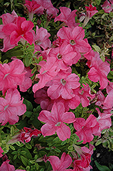 Duvet Salmon Petunia (Petunia 'Duvet Salmon') at Hicks Nurseries
