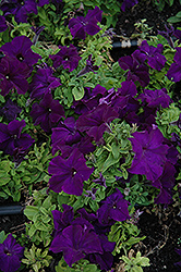 Limbo Blue Petunia (Petunia 'Limbo Blue') at Hicks Nurseries