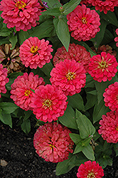 Magellan Cherry Zinnia (Zinnia 'Magellan Cherry') at Hicks Nurseries
