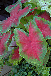 John Peed Caladium (Caladium 'John Peed') at Hicks Nurseries