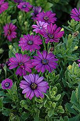 Asti Purple African Daisy (Osteospermum 'Asti Purple') at Hicks Nurseries