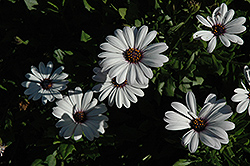 Asti White African Daisy (Osteospermum 'Asti White') at Hicks Nurseries