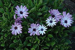 Asti Purple Bicolor African Daisy (Osteospermum 'Asti Purple Bicolor') at Hicks Nurseries