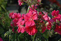 Precision Salmon Ivy Leaf Geranium (Pelargonium peltatum 'Precision Salmon') at Hicks Nurseries
