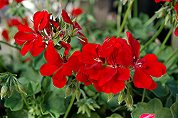 Precision Scarlet Red Ivy Leaf Geranium (Pelargonium peltatum 'Precision Scarlet Red') at Hicks Nurseries