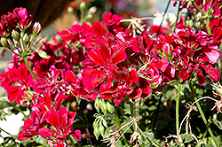 Precision Burgundy Ivy Leaf Geranium (Pelargonium peltatum 'Precision Burgundy') at Hicks Nurseries