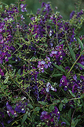 AngelMist® Spreading Purple Angelonia (Angelonia angustifolia 'AngelMist Spreading Purple') at Hicks Nurseries