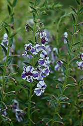 AngelMist® Purple Stripe Angelonia (Angelonia angustifolia 'AngelMist Purple Stripe') at Hicks Nurseries