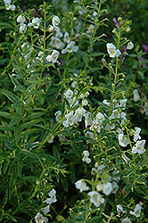 AngelMist® White Angelonia (Angelonia angustifolia 'AngelMist White') at Hicks Nurseries